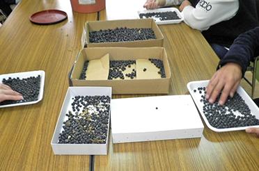 黒豆栽培工程4