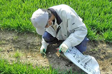 もち麦栽培工程4