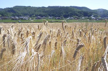 もち麦栽培工程5