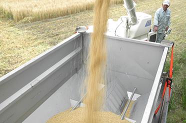 もち麦栽培工程6